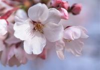 P15 桜.jpg